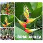 Heliconia Bihai Aurea - Flores Tropicais
