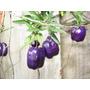 Sementes De Billardiera Longiflora - Maças Roxas+manual