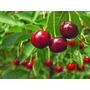 20 Sementes De Viburnum Trilobum - Cerejas Americanas+manual