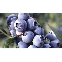 30 Sementes Da Mirtilo - Lowbush Blueberry+manual De Cultivo