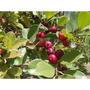 20 Sementes De Araçá-rosa Vermelho (psidium Cattleianum)