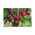 10 Sementes De Cacau - Cacaueiro (theobroma Cacao)
