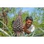20 Sementes De Abacaxi Gigante Com Mais De 12 Quilos