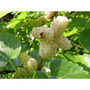 100 Sementes De Amora-branca (morus Alba)