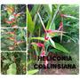 Heliconia Collinsiana- Flores Tropicais