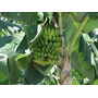 Mudas De Bananas(nanica/ouro/prata/dagua Gigante E Outras)