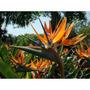 Sementes Da Flor Ave Do Paraíso Strelitzia Reginae 1000 Unid