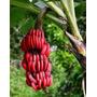 Muda De Banana Vermelha Bulbo R$ 19,90