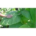 Sementes Burley Tobaco Cacau Como Aroma+manual De Cultivo