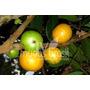 Muda Frutífera De Cambucá