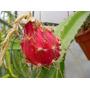 Muda Pitaya Do Cerrado Vermelha C/ Polpa Branca (delíciosa)