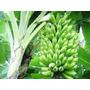 Mudas De Banana Caturra (nanica)