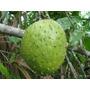 Muda Da Rara E Deliciosa Araticum Açu Da Amazônia