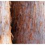 Semente Eucalyptus Delegatensis Eucalipto Carvalho Tasmânia