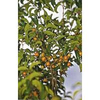 Muda Da Fruta Do Cerrado Gabiroba, Guabiroba, Guavirova
