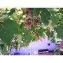 Muda Uva Niagara Rosada Enxertada Faze Produção Fruto