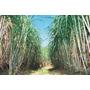 Cana De Açúcar Mudas Para Plantio Kit 50 Mudas