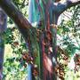 Eucaliptos Mudas Coloridas Arco Iris 90 Cm A 1 Metro