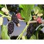 Mudas De Amora Do Èbano Produzindo - Rubus Fruticosus