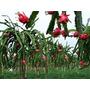 Mudas De Pitayas Vermelhas Com Polpa Vermelha