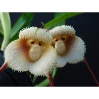 Orquidea Cara De Macaco 20 Sementes,manual De Cultivo