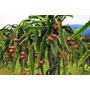 Mudas Arvores Frutiferas Pitaya Vermelha E Branca Produzindo
