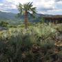 Palmeira Azul Bismarckia Nobilis Entre 70 E 80cm