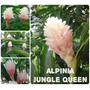 Alpínia Jungle Queen- Flores Tropicais