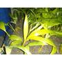 Mudas De Palmeira Real 100unidades Por