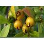 Muda De Araçá Amarelo Produzindo Psidium Cattleyanum