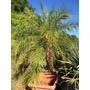 Palmeira Phoenix Roebelenii - Fenix 1,00 A 1,30m De Caule