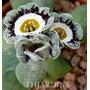 Sementes De Primula Auricula Flores Belissimas Plantas Mudas