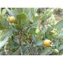 Sementes Gabiroba Rugosa+manual De Cultivo- 100 Sementes