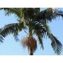 100 Sementes Germinando De Palmeira Real - Arvore Seafórtia
