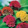 Celósia Cristata Rabo De Galo Sementes Flor Para Mudas