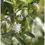 50 Sementes De Stévia - Adoçante Natural