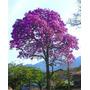 Sementes De Ipê Roxo Para Mudas Ou Árvore