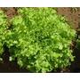 Sementes De Alface Mimosa Salad Bowl