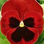 Sementes De Amor Perfeito Vermelho Gigante Suiço Frete Gráti
