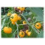 10 Sementes De Pimenta Bode Amarela