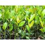 Investimento Sócio Plantação De Arvores Guanandi Madeira