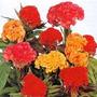 Sementes Da Maravilhosa Flor Crista De Galo Celósia