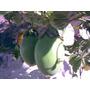Maracujá Doce Passiflora Alata