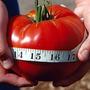 Tomate Gigante Do Guinness Sementes Recorde Mundial: 3,2 Kg