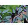 Black Prince Pepper Pimenta Sementes Capsicum Nigrum