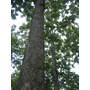 Acacia Mangium - Acacia Australiana 250g - Sementes