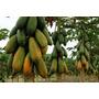 100 Sementes Mamão Formosa Gigante Mais Frete Gratis #cana