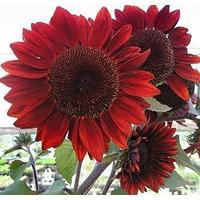 Sementes Da Flor Girassol Sol Vermelho - Frete Grátis