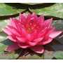 15 Sementes De Flor De Lotus - Water Lily - Todas As Cores