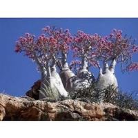 Rosa-do-deserto Adenium Obesum 500 Sementes 10 Variedades